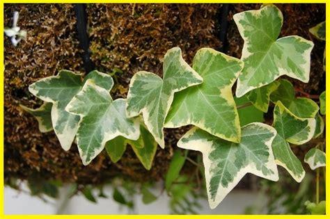 jenis tanaman pembersih udara terbaik ngasihcom