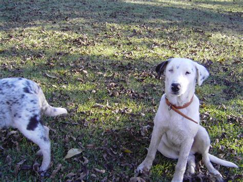 catahoula cur puppies for sale catahoula curs