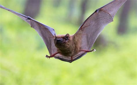 When Do Bats Hibernate?   Terminix