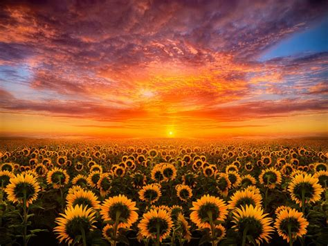 sunset red sky cloud field  sunflower hd desktop