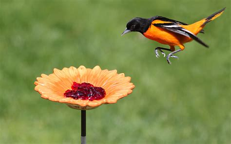 pin orange orioles bird feeder on pinterest