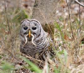 what do baby barn owls eat biology of the barred owl strix varia