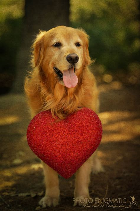 hearts of gold golden retrievers golden retriever golden hearts der golden retriever golden retriever