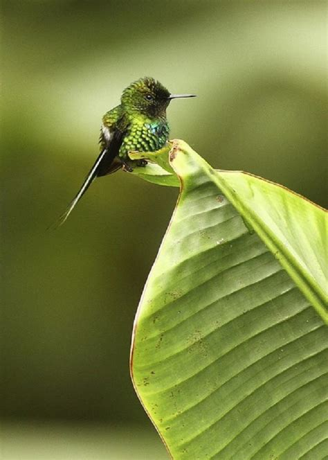 the smallest hummingbird bee hummingbird or zunzuncito