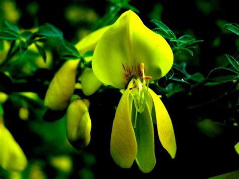 sträucher gelbe str 228 ucher gelbe bl te bild foto