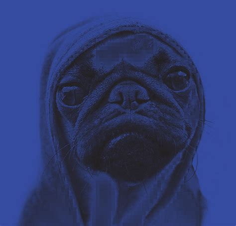 i didn t choose the pug i didn t choose the pug the pug chose me tnm digital by den dries