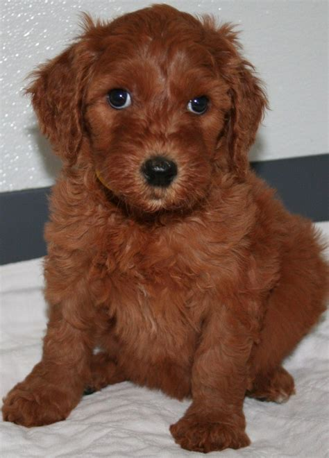 goldendoodle puppy colors goldendoodle puppy colors by moss creek goldendoodles in