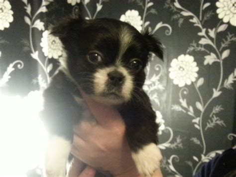 shih tzu cross for sale shih tzu cross boston terrier pups for sale breeds picture