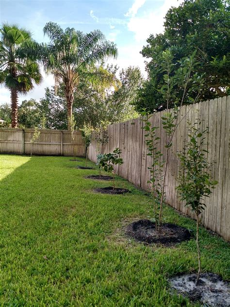 backyard orchard my backyard florida quot orchard quot apple pear and citrus