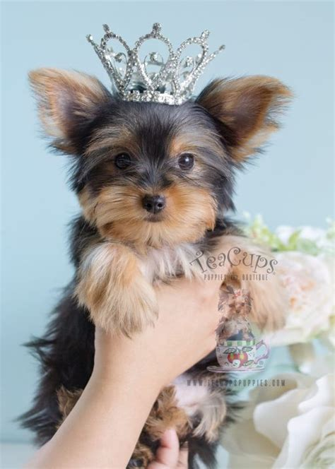 information on teacup yorkies teacup yorkies for sale by teacups puppy boutique teacups puppies boutique