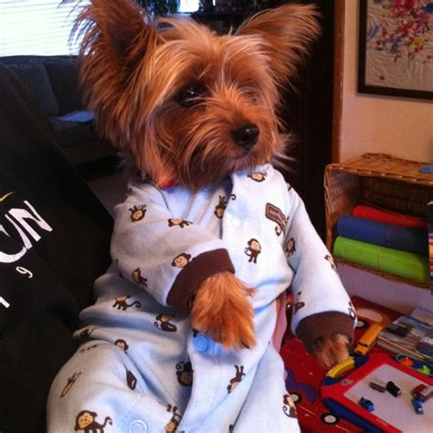 yorkie pajamas yorkie in pajama yorkies yorkie babies and pajamas