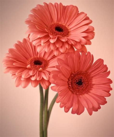 Ideas For Gerbera Flowers 17 Best Ideas About Gerbera On Pinterest Paper Flowers Diy Pink Gerbera And Gerbera Colors