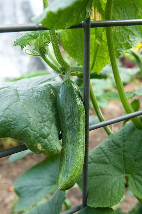 growing cucumbers easy family garden backyard