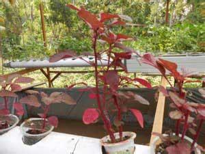 tanaman    cocok  akuaponik daun ijo
