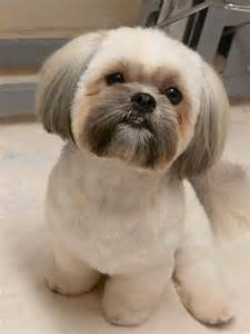 how to cut a shichon s hair best 20 dog haircuts ideas on pinterest