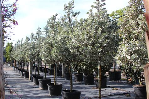 Buttonwood Gardens by Silver Buttonwood Fresh To The Farm And Looking Fantastic