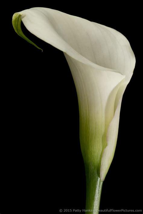 in the studio crystal white calla lilies beautiful