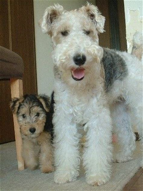 photos of lakeland terriors hair styles fox terrier and apprentice lakeland both beautiful dogs