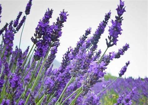 lavanda coltivazione in vaso lavanda coltivazione piante in giardino come coltivare