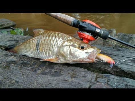 ikan parang sungai pectoral pin minnow