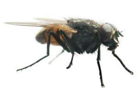 hausmittel gegen fliegen im haus hausmittel gegen fliegen jetzt lesen alle tipps