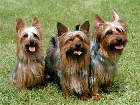 australian yorkie 1000 images about australian silky terrier on