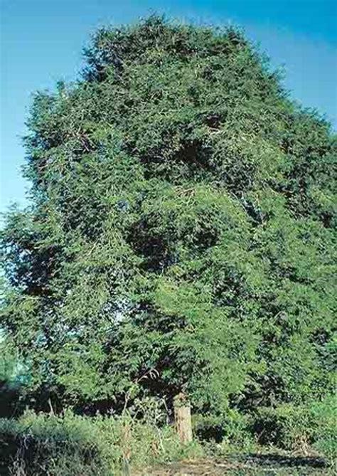 falling on tamarind trees a travelogue of books tamarind tamarindus indica feedipedia