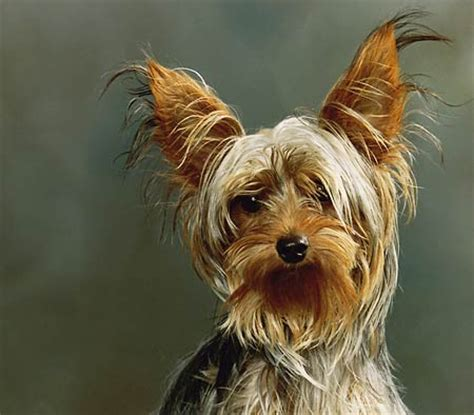yorkie breed characteristics best breed for your personality pawnation