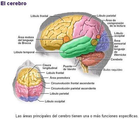 imagenes de el cerebro humano partes del encefalo de res