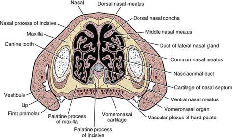 the respiratory system veterian key