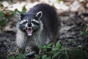 Backyard Chickens Raccoons Backyard Chicken Farmers Part 2 Predators In The Coop