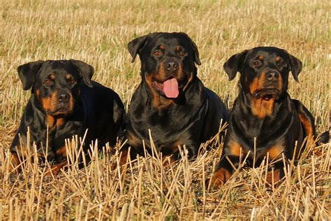 dogs 101 rottweiler interesting rottweiler facts dogs 101 rottweiler animal facts