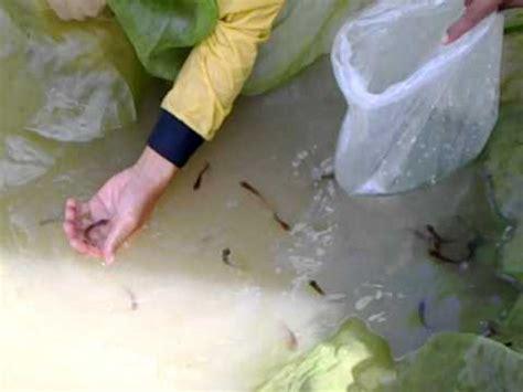 Perkutut Teratai Ikan Arwana cara ikan arwana bertelur terekam kamera cctv pertama kali