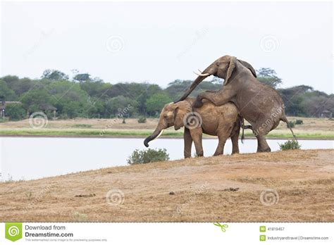 african animals mating videos mating elephants at lake stock image image of travel