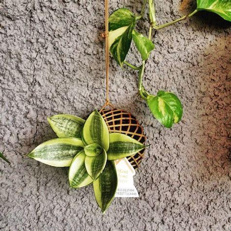 yuk beli  tanaman kekinian  tokopedia