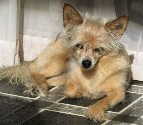 yorkie chihuahua mix price quot teddy quot my yorkie chihuahua mix partially tiny dogs chihuahua
