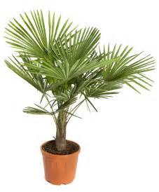 palmier botanic