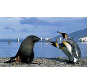 King Penguins And A Seal  HD Wallpaper Download