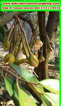 Bibit Kelengkeng Di Pekanbaru bibit durian montong bibit durian unggul durian bawor