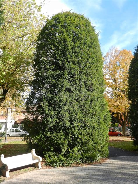 Eibenholz Giftig by Eibe Wirbellose At