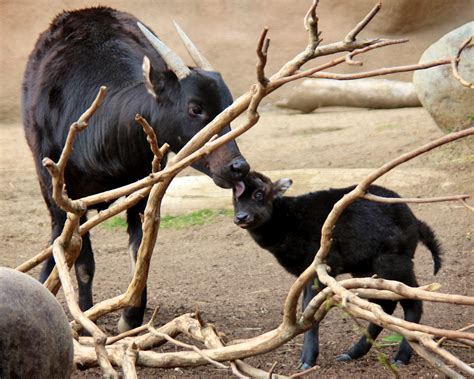mommy kisses lowland anoa mother    day  calf penny hyde flickr