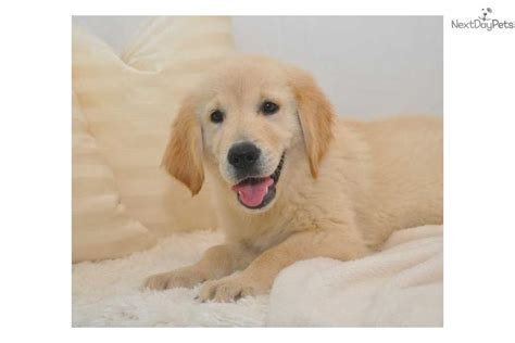 baby golden retriever for sale golden retriever puppy for sale near springfield missouri 05f2d2bf d3a1