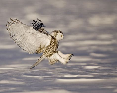 hinterland who s who snowy owl