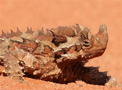 creature feature  fun facts   thorny devil