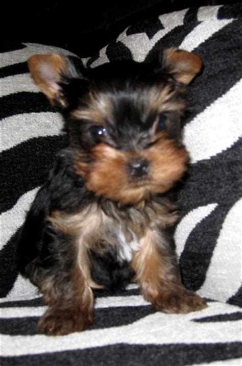 standard size yorkie pocketbook pups terriers blackie