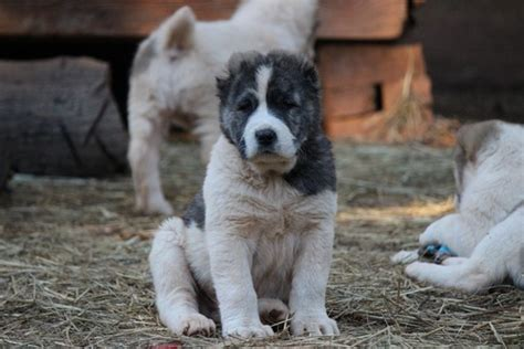 alabai puppies for sale usa view ad central asian shepherd puppy for sale south carolina spartanburg usa