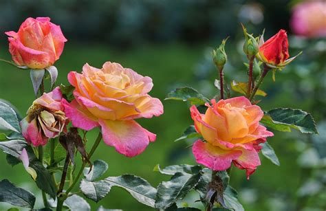 Pupuk Untuk Bunga cara membuat pupuk bunga dengan cepat dan mudah agrotani