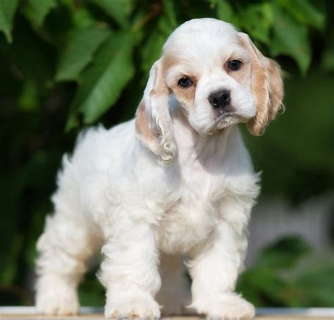 pomeranian cocker spaniel mix for sale largest variety best quality puppies for sale 2018 puppy singapore