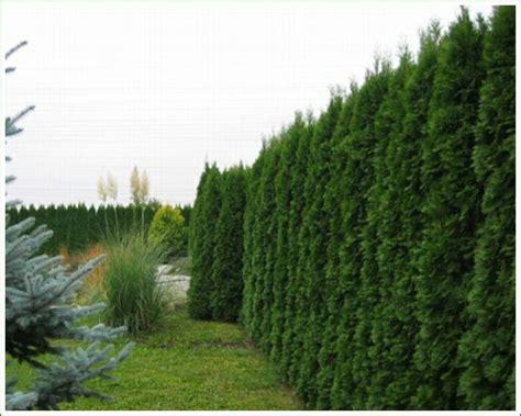 günstige garten pflanzen hecke zaun idee
