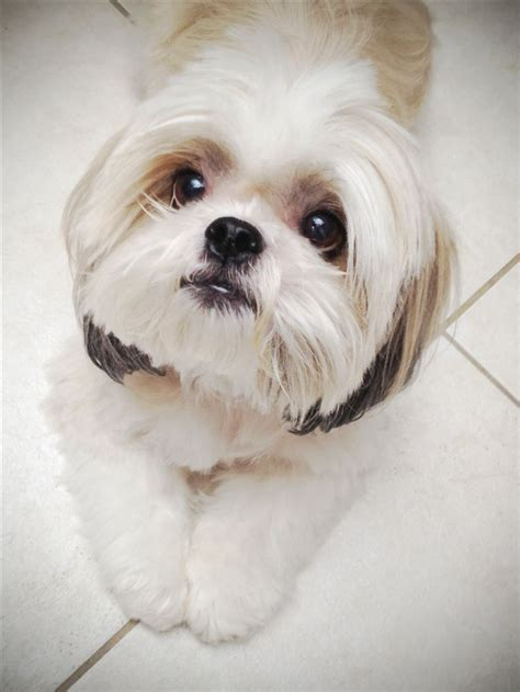 sweet and sassy shih tzu 17 best images about shih tzu on dogs pets and